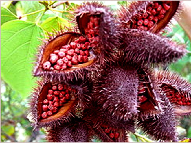 Beware Annatto! The natural food color masquerading as the ...